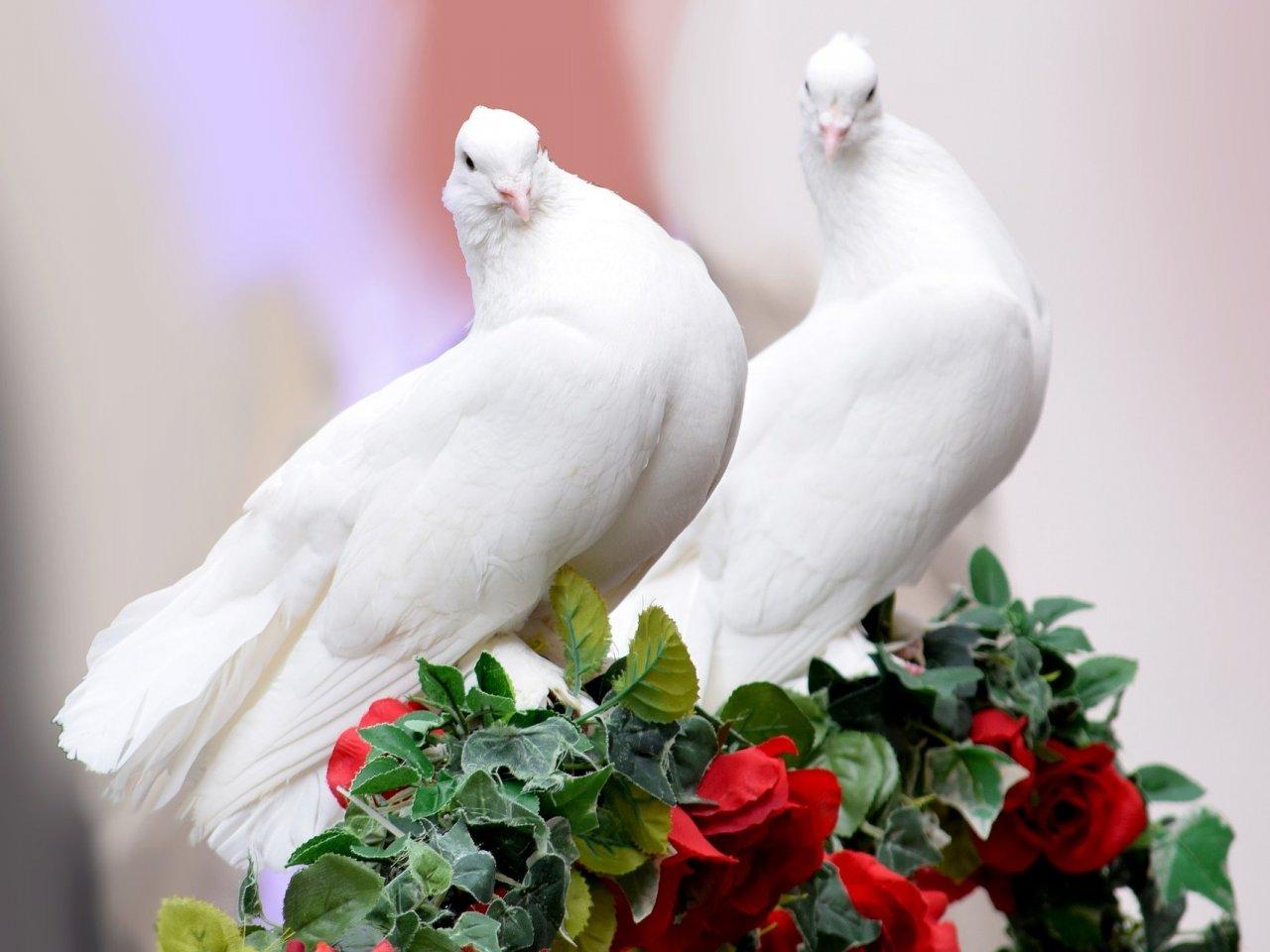голуби любви фото очень