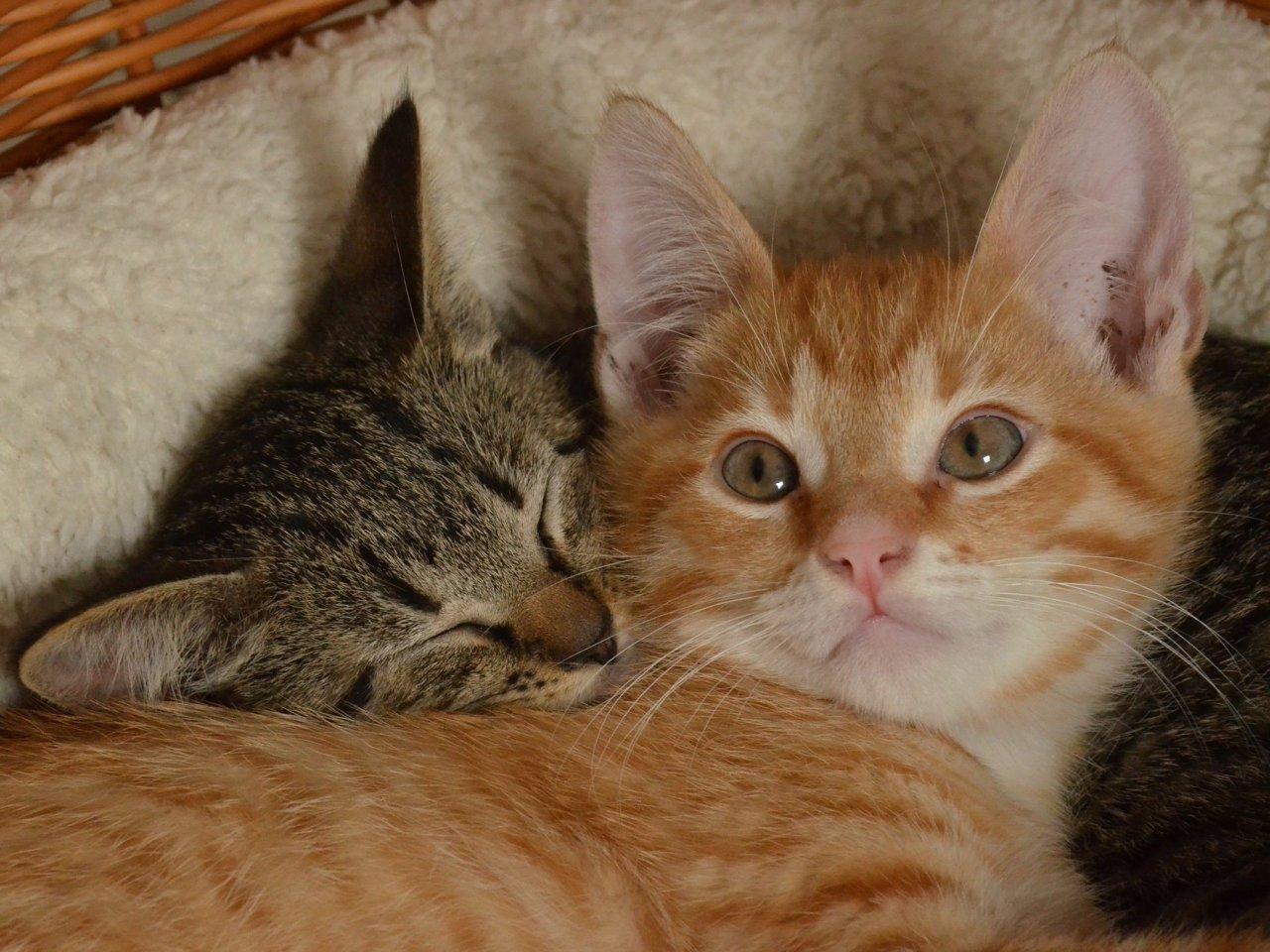 картинки рыжего и серого кота представителями животных