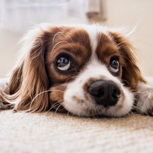 Пазл «Задумчивый щенок»