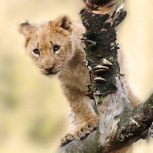 Пазл «Львенок на дереве»
